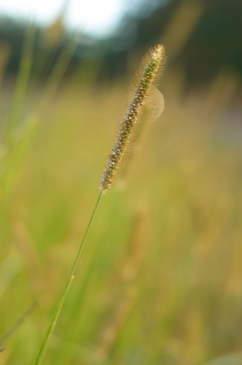 tall grass field