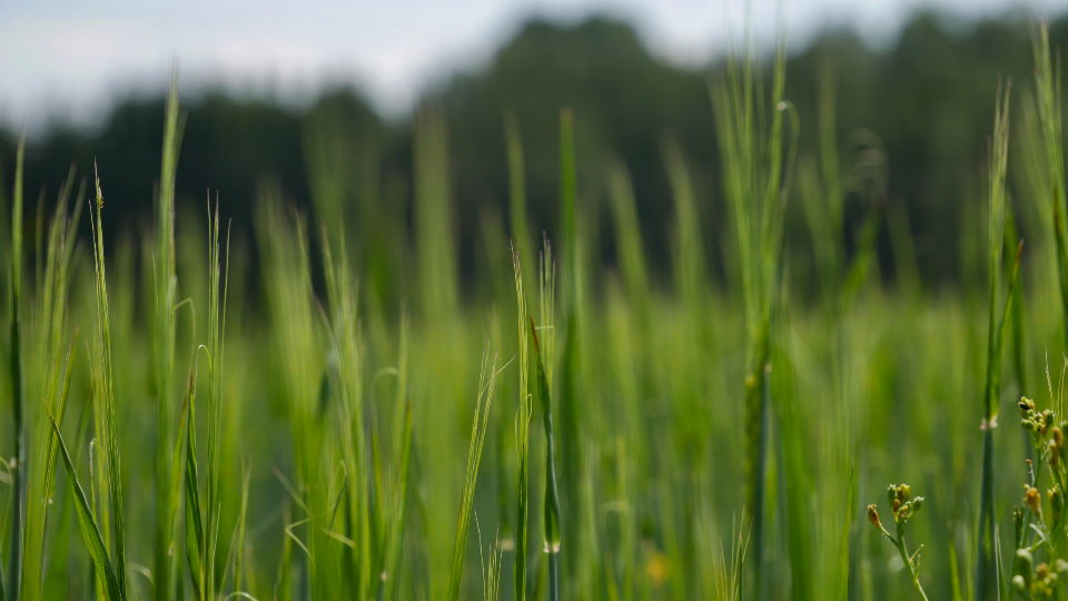 Free stock photo of tall grass