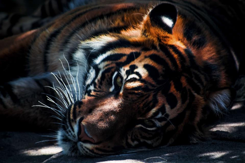 Free stock photo of tiger cat
