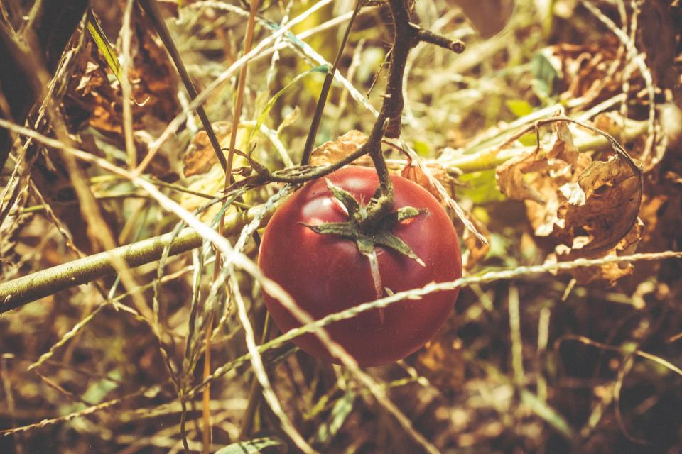 tomato red vegetation