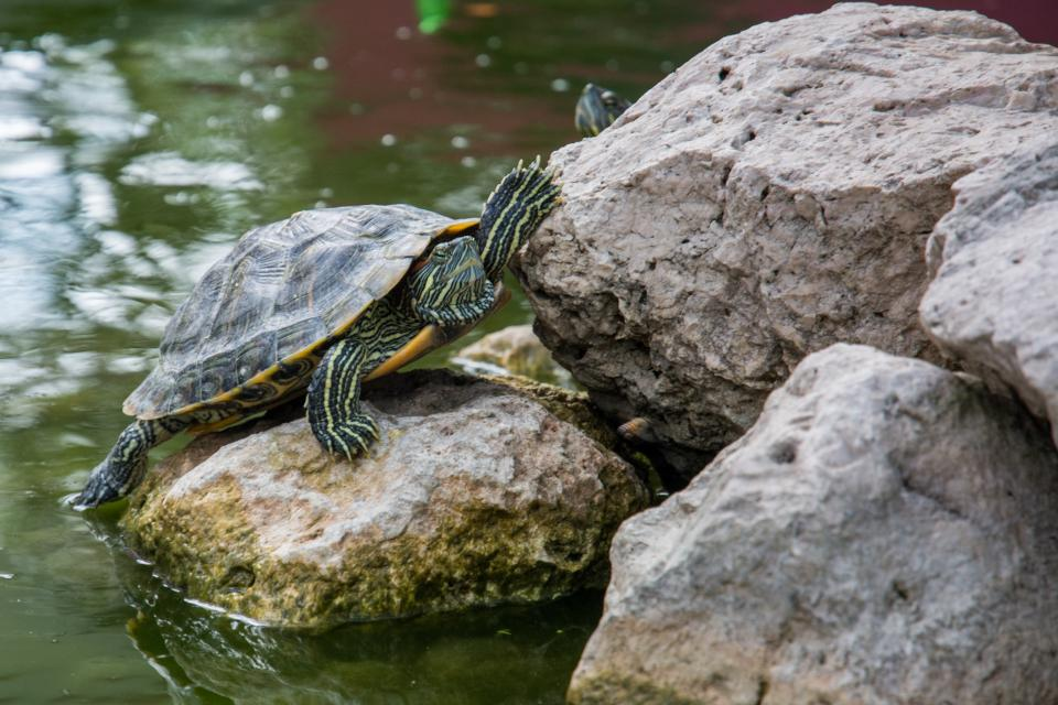Free stock photo of turtle shell