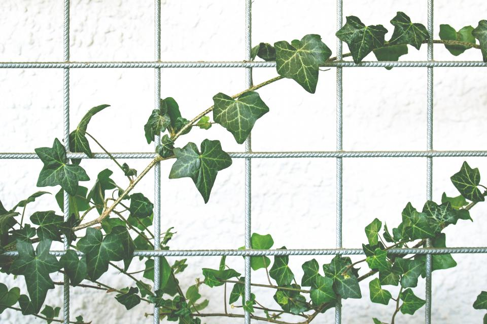 Free stock photo of vines plant