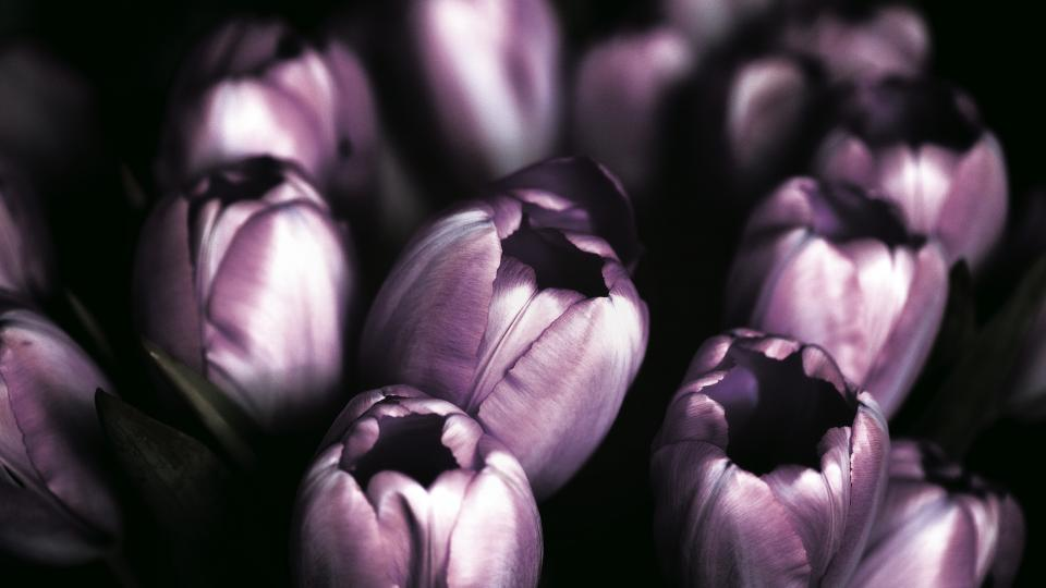 Free stock photo of violet tulips