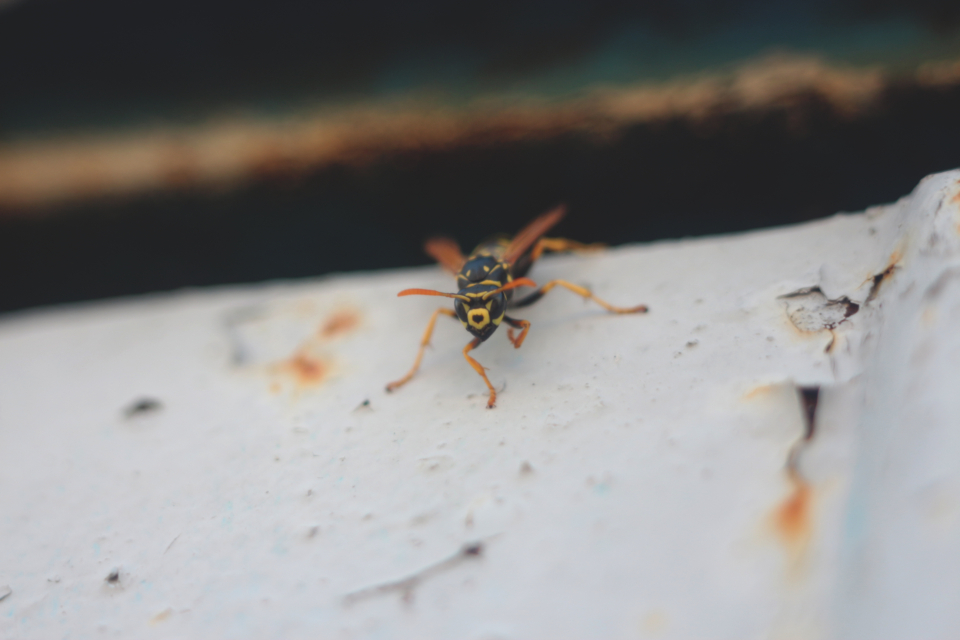 wasp insect nature