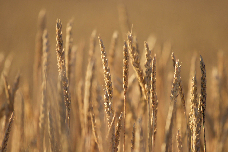 wheat background autumn