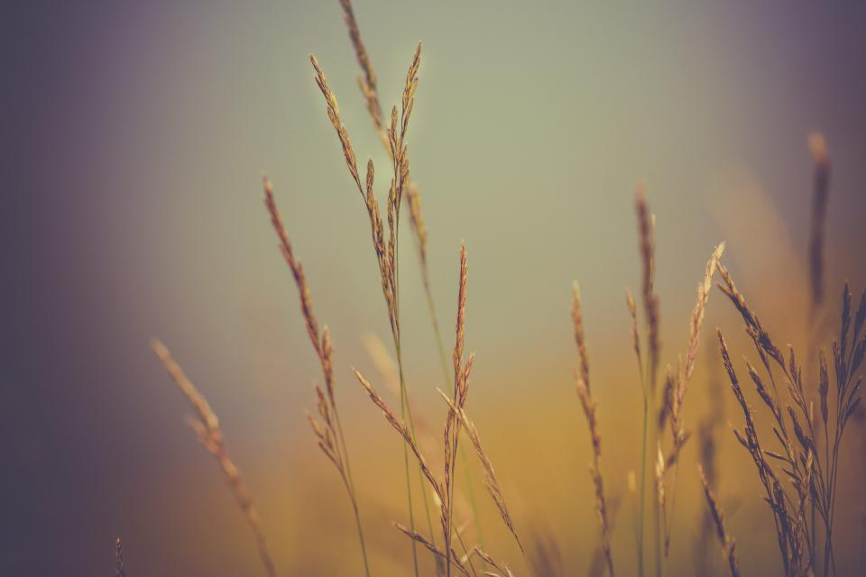 wheat plants nature