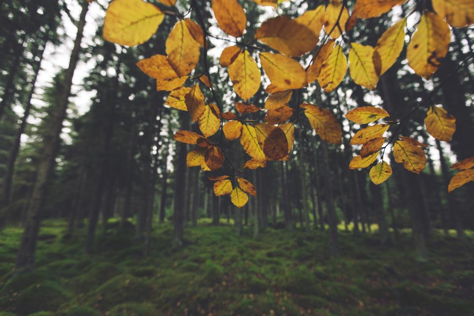 yellow leaves trees
