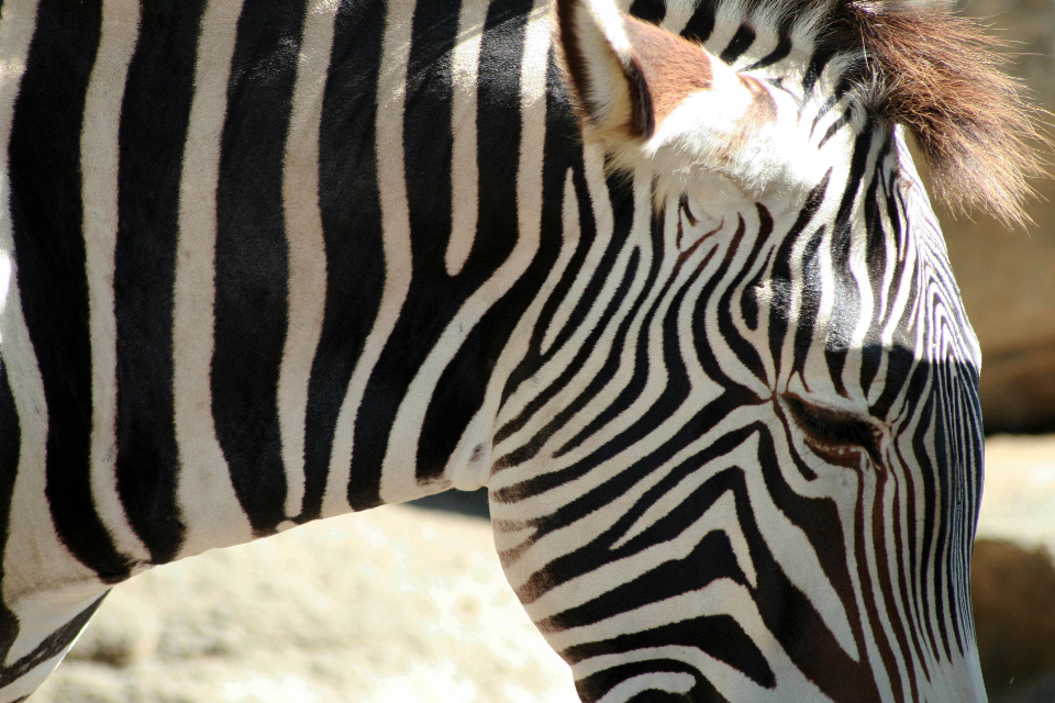 zebra animal wildlife